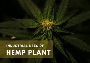 Industrial Uses of Hemp Leaves
